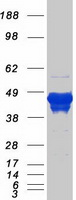 Coomassie blue staining of purified GFAP