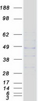 Coomassie blue staining of purified MRGP