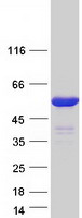 Coomassie blue staining of purified IRF4