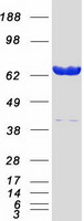 Coomassie blue staining of purified LMNA