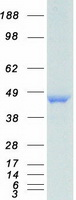 Coomassie blue staining of purified HNRN