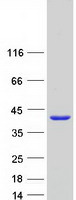 Coomassie blue staining of purified MPST