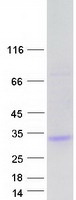 Coomassie blue staining of purified UNC5