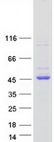 Coomassie blue staining of purified GNAI