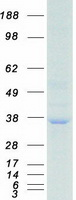 Coomassie blue staining of purified RPA2