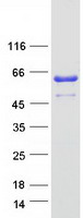 Coomassie blue staining of purified ZPR1