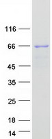 Coomassie blue staining of purified SNX3