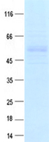 Coomassie blue staining of purified CYP1