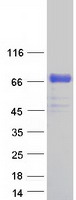 Coomassie blue staining of purified PLBD