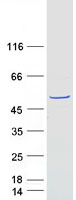Coomassie blue staining of purified FAM8