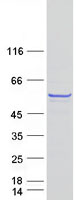 Coomassie blue staining of purified BNIP
