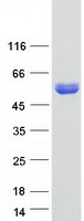 Coomassie blue staining of purified DYNC