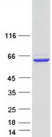 Coomassie blue staining of purified GRB1