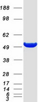 Coomassie blue staining of purified ODC1