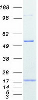 Coomassie blue staining of purified PFN2