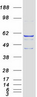 Coomassie blue staining of purified CYP2