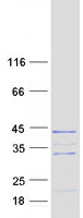 Coomassie blue staining of purified RNF4