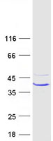 Coomassie blue staining of purified CA7