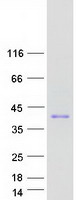 Coomassie blue staining of purified NKX2