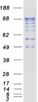 Coomassie blue staining of purified PDE4