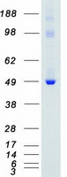 Coomassie blue staining of purified PTK6