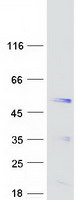Coomassie blue staining of purified SYT5