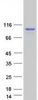 Coomassie blue staining of purified DDX1
