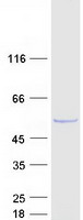 Coomassie blue staining of purified DUS1