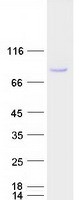 Coomassie blue staining of purified SCML