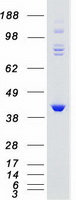 Coomassie blue staining of purified GRK5