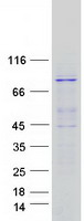 Coomassie blue staining of purified EXOC