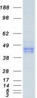 Coomassie blue staining of purified PON1