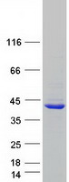 Coomassie blue staining of purified APOL