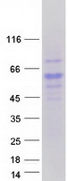Coomassie blue staining of purified RTN4