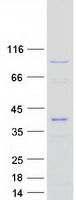Coomassie blue staining of purified EPST