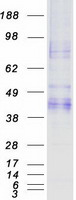 Coomassie blue staining of purified ASGR