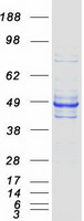 Coomassie blue staining of purified WDR4