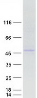 Coomassie blue staining of purified HNF4
