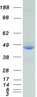 Coomassie blue staining of purified XRCC