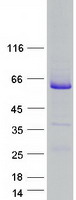Coomassie blue staining of purified RAB3