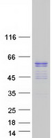 Coomassie blue staining of purified ERG