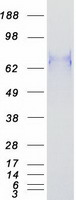 Coomassie blue staining of purified BCL6