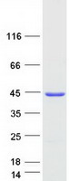 Coomassie blue staining of purified CLTA