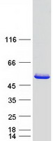 Coomassie blue staining of purified CRAC