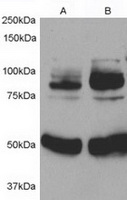 TA302413 (0.5ug/ml) staining of 1) Rat A