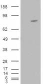 HEK293 overexpressing ARHGEF4 (RC215591)