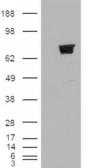 HEK293 overexpressing TRIM3 (RC211928) a