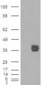 HEK293 overexpressing CD32 (RC211982) an