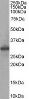 TA302486 staining (0.05ug/ml) of Human M