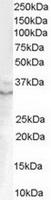 TA302498 (0.1ug/ml) staining of Human Pr